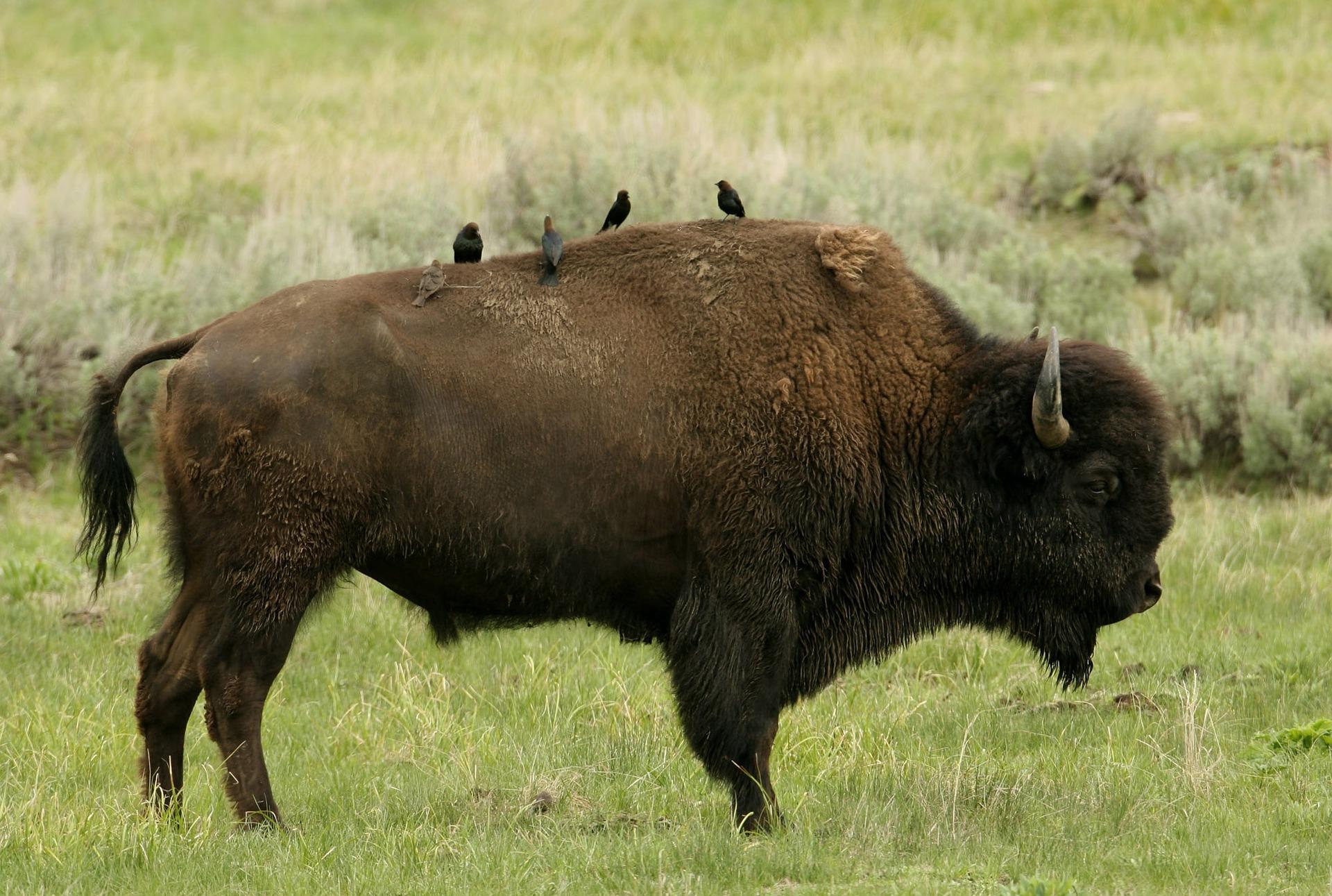 Vidéo sur le bison